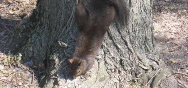 Squirrelly antics fascinate campus