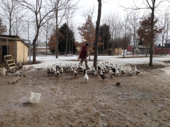 Steve Shantz is joined by his ducks as walks through his yard.
