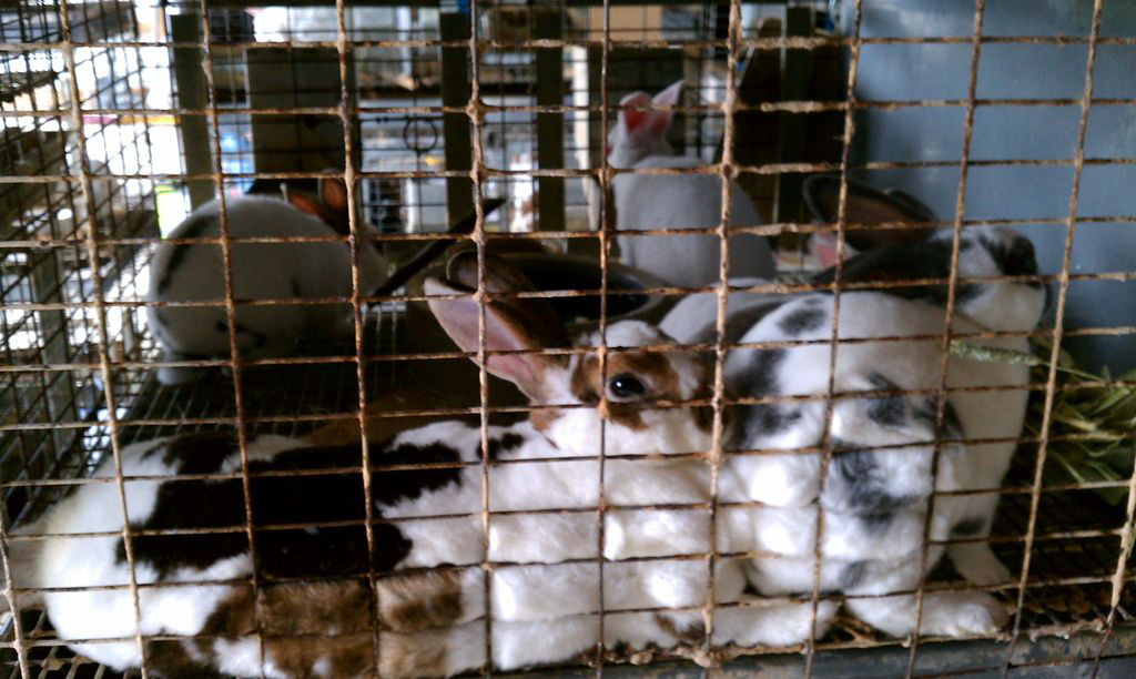 Several white and brown-spotted bunnies poke their noses through a cage
