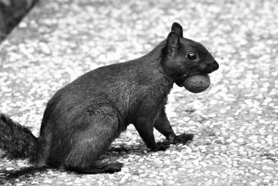 Squirrel with nut